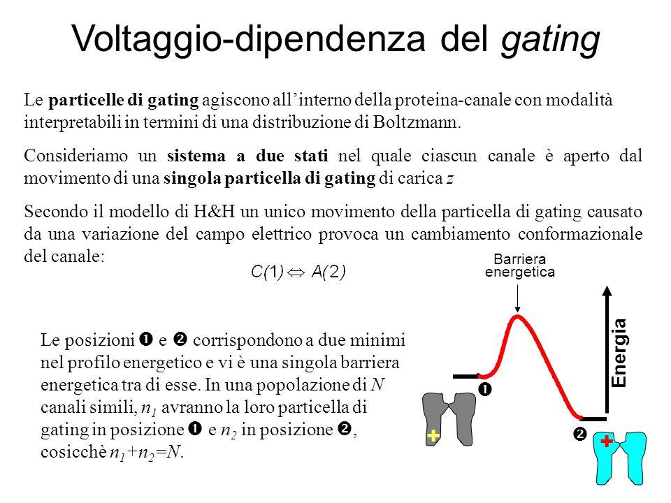 Le particelle di gating agiscono allinterno della proteina-canale con modalità interpretabili in termini di una distribuzione di Boltzmann. Consideria