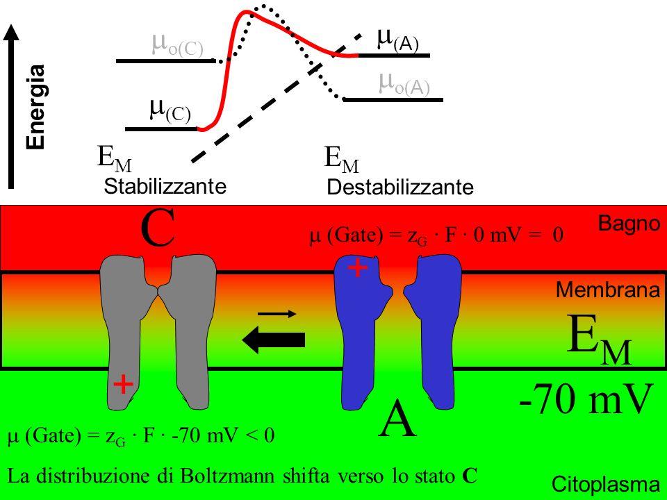 A ) Bagno Citoplasma C Membrana EMEM -70 mV La distribuzione di Boltzmann shifta verso lo stato C E M Stabilizzante + + A (Gate) = z G · F · 0 mV = 0