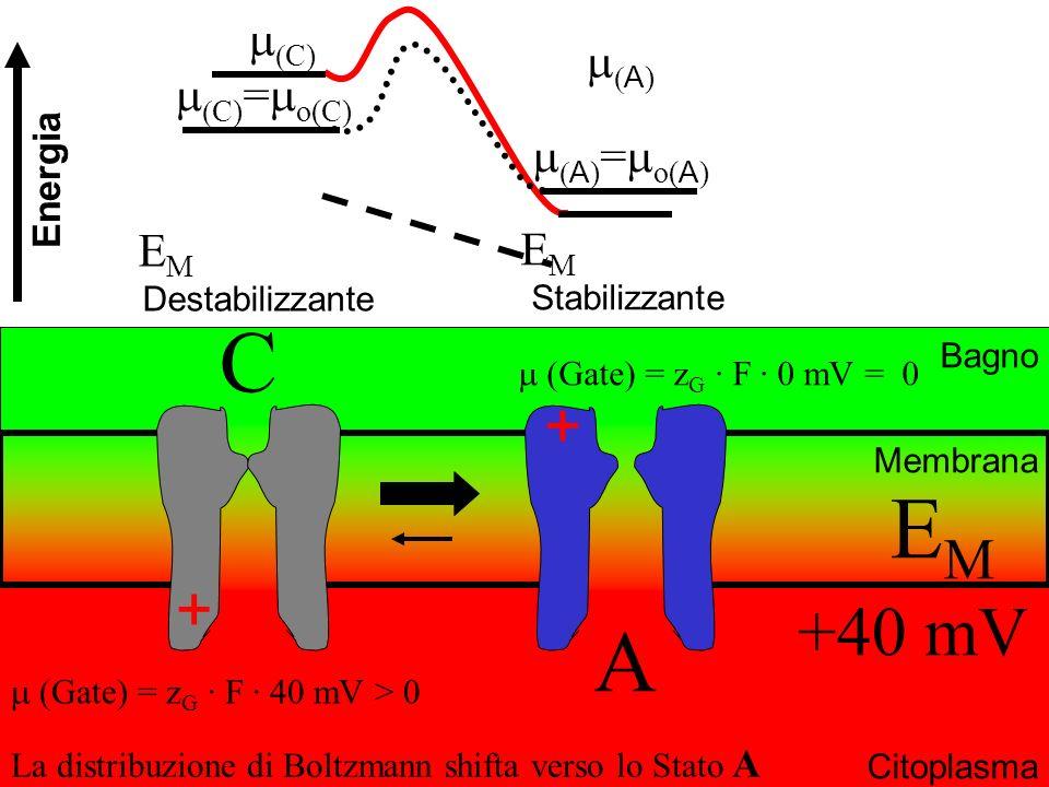 Bagno Citoplasma Membrana E M Destabilizzante + + EMEM +40 mV La distribuzione di Boltzmann shifta verso lo Stato A C A (Gate) = z G · F · 0 mV = 0 (G