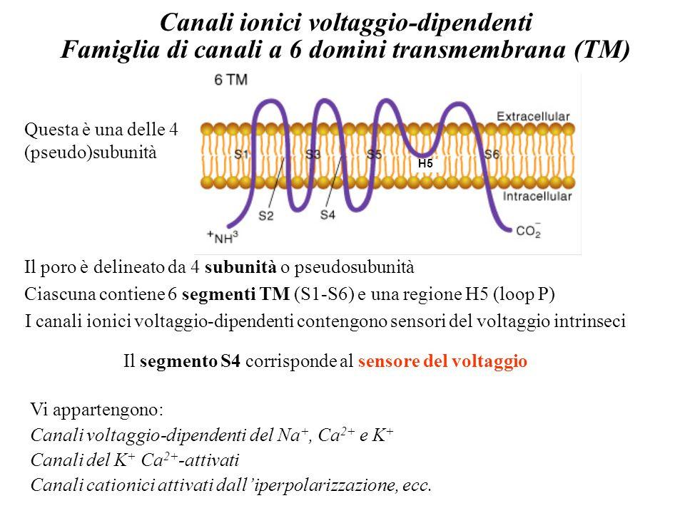 Canali ionici voltaggio-dipendenti Famiglia di canali a 6 domini transmembrana (TM) Il poro è delineato da 4 subunità o pseudosubunità Ciascuna contie