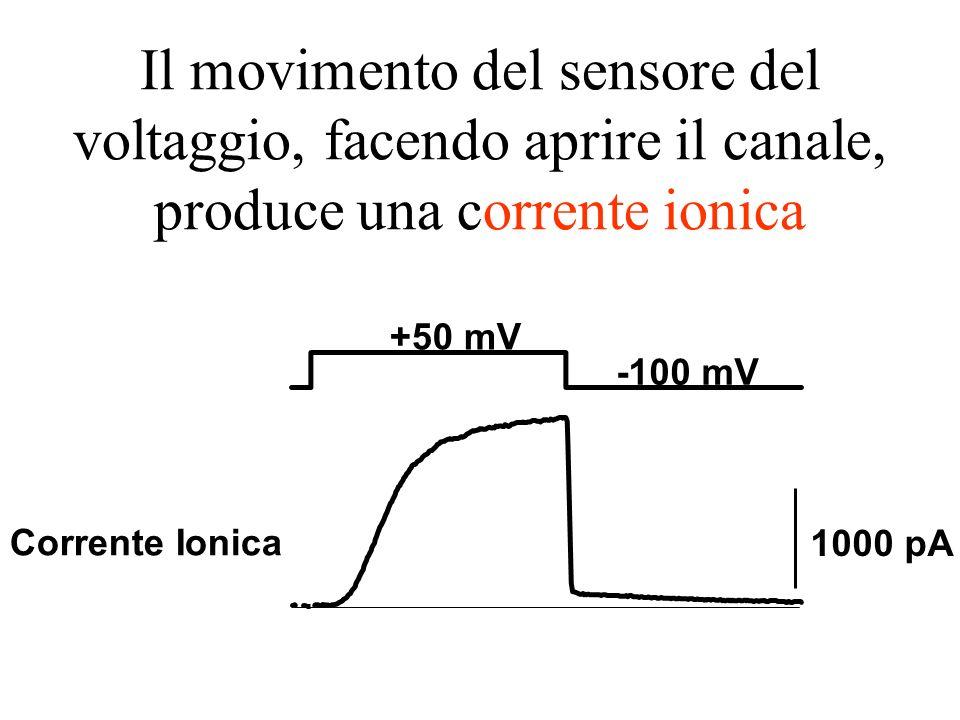 Il movimento del sensore del voltaggio, facendo aprire il canale, produce una corrente ionica +50 mV -100 mV 1000 pA Corrente Ionica