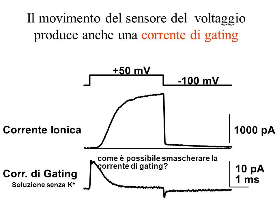 +50 mV -100 mV Corr. di Gating Soluzione senza K + 1000 pA 10 pA 1 ms Corrente Ionica Il movimento del sensore del voltaggio produce anche una corrent