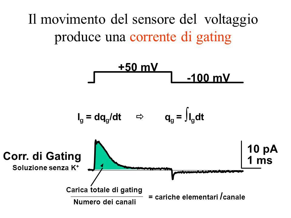 +50 mV -100 mV 10 pA 1 ms Carica totale di gating Numero dei canali = cariche elementari / canale Corr. di Gating Soluzione senza K + Il movimento del
