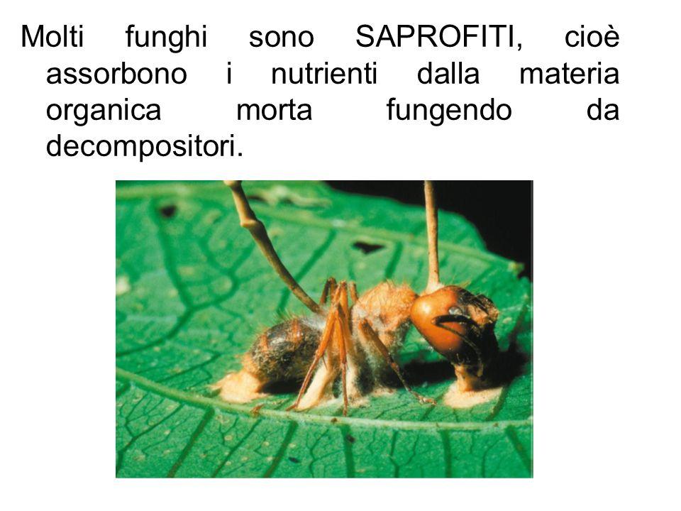 Molti funghi sono SAPROFITI, cioè assorbono i nutrienti dalla materia organica morta fungendo da decompositori.
