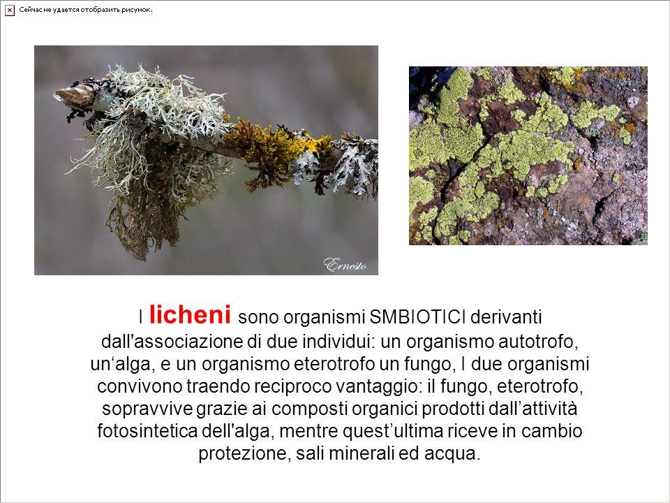 I licheni sono organismi SMBIOTICI derivanti dall'associazione di due individui: un organismo autotrofo, unalga, e un organismo eterotrofo un fungo, I