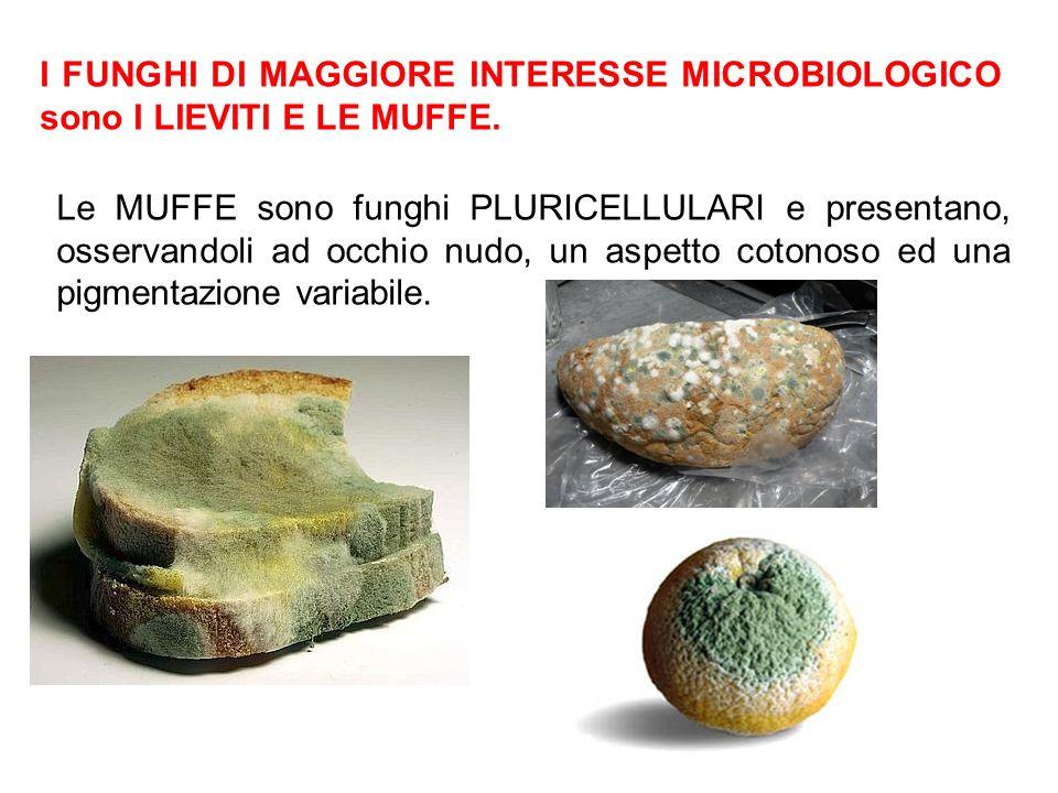 I FUNGHI DI MAGGIORE INTERESSE MICROBIOLOGICO sono I LIEVITI E LE MUFFE. Le MUFFE sono funghi PLURICELLULARI e presentano, osservandoli ad occhio nudo