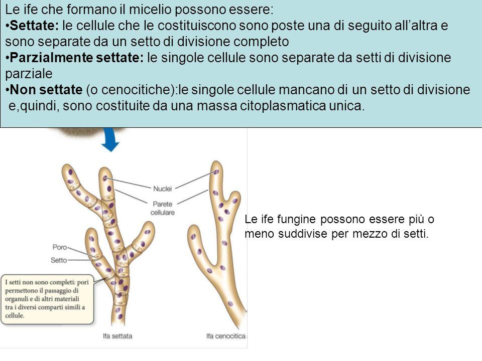 Le ife che formano il micelio possono essere: Settate: le cellule che le costituiscono sono poste una di seguito allaltra e sono separate da un setto