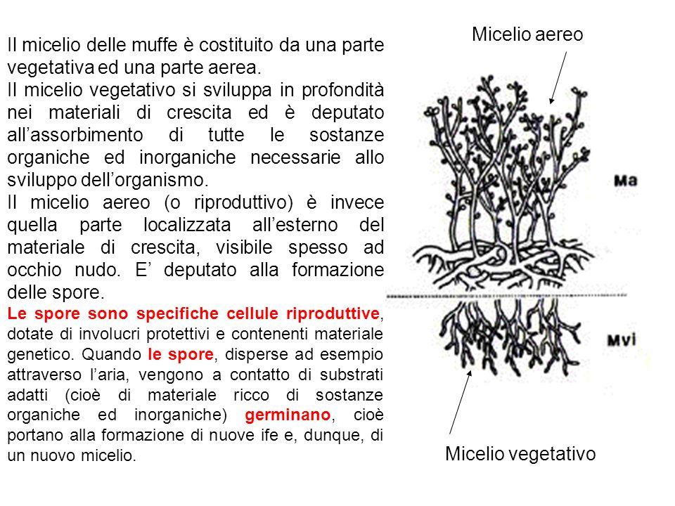 Il micelio delle muffe è costituito da una parte vegetativa ed una parte aerea. Il micelio vegetativo si sviluppa in profondità nei materiali di cresc