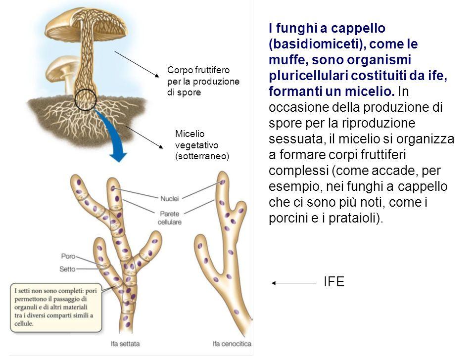 I funghi a cappello (basidiomiceti), come le muffe, sono organismi pluricellulari costituiti da ife, formanti un micelio. In occasione della produzion