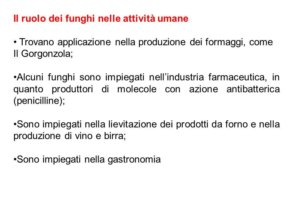 Il ruolo dei funghi nelle attività umane Trovano applicazione nella produzione dei formaggi, come Il Gorgonzola; Alcuni funghi sono impiegati nellindu