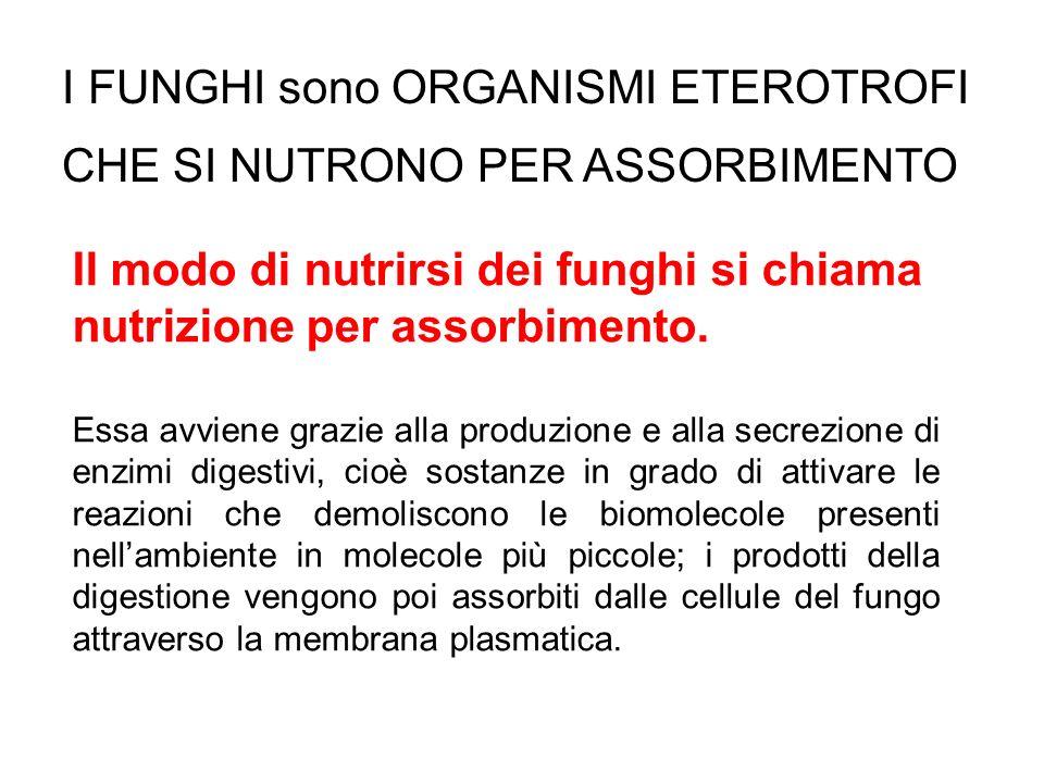 Il modo di nutrirsi dei funghi si chiama nutrizione per assorbimento. Essa avviene grazie alla produzione e alla secrezione di enzimi digestivi, cioè