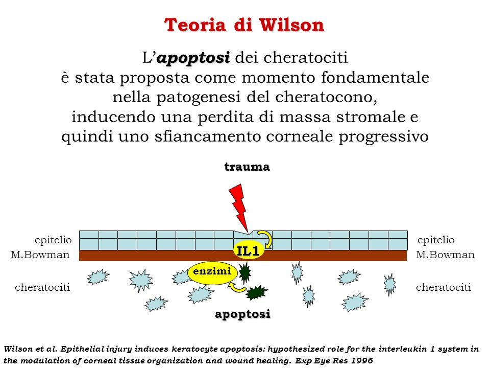 trauma epitelio M.Bowman cheratociti epitelio M.Bowman cheratociti IL1 Teoria di Wilson apoptosi L apoptosi dei cheratociti è stata proposta come mome