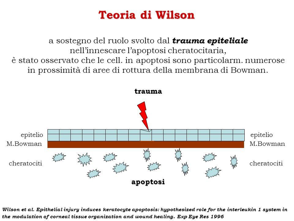Teoria di Wilson trauma epiteliale a sostegno del ruolo svolto dal trauma epiteliale nellinnescare lapoptosi cheratocitaria, è stato osservato che le