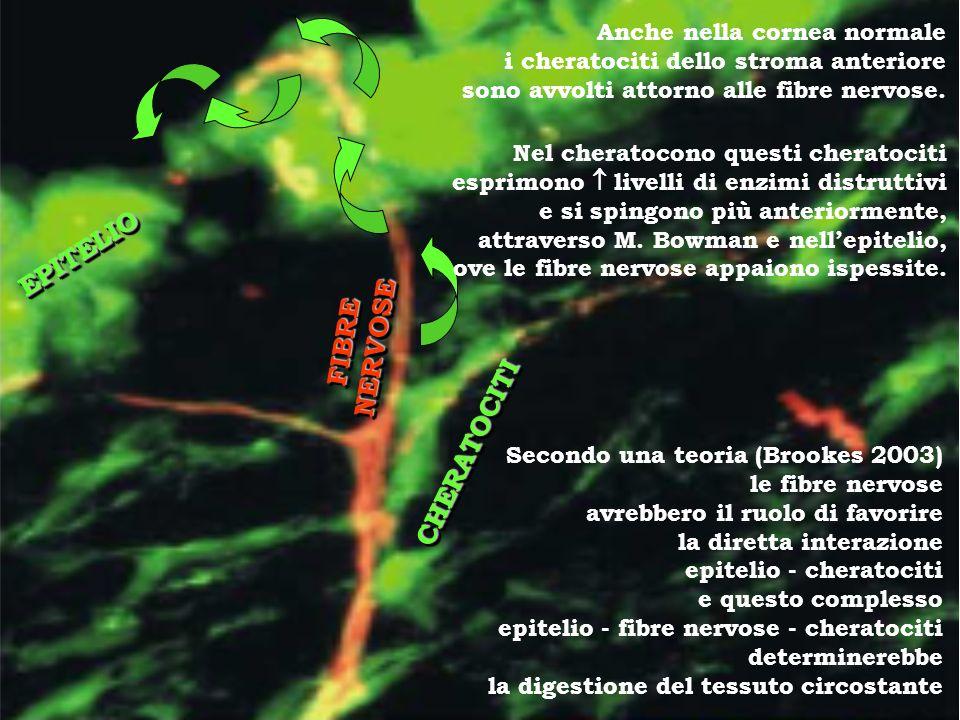 EPITELIOEPITELIO CHERATOCITICHERATOCITI FIBRENERVOSEFIBRENERVOSE Secondo una teoria (Brookes 2003) le fibre nervose avrebbero il ruolo di favorire la