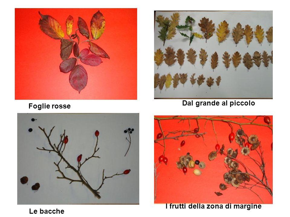 Foglie rosse Dal grande al piccolo Le bacche I frutti della zona di margine