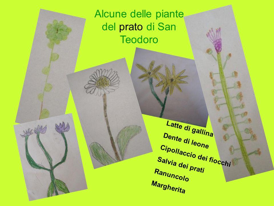 Alcune delle piante del prato di San Teodoro Latte di gallina Dente di leone Cipollaccio dei fiocchi Salvia dei prati Ranuncolo Margherita