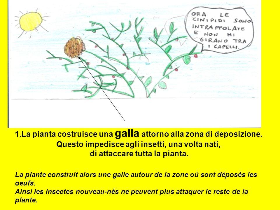1.La pianta costruisce una galla attorno alla zona di deposizione. Questo impedisce agli insetti, una volta nati, di attaccare tutta la pianta. La pla
