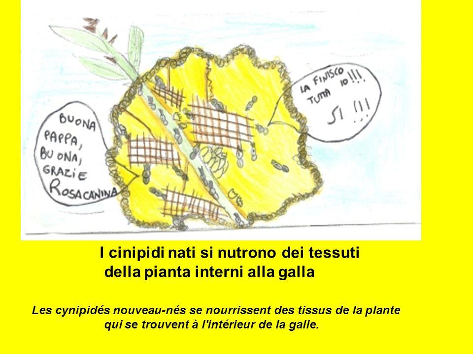 I cinipidi nati si nutrono dei tessuti della pianta interni alla galla Les cynipidés nouveau-nés se nourrissent des tissus de la plante qui se trouven