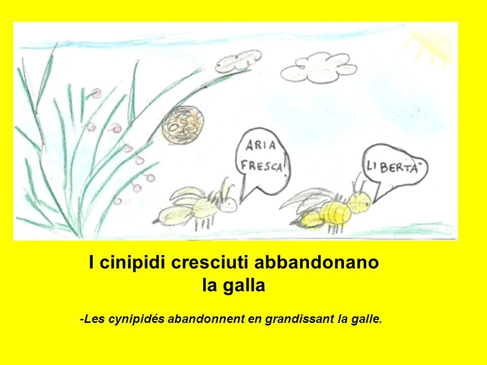 I cinipidi cresciuti abbandonano la galla -Les cynipidés abandonnent en grandissant la galle.