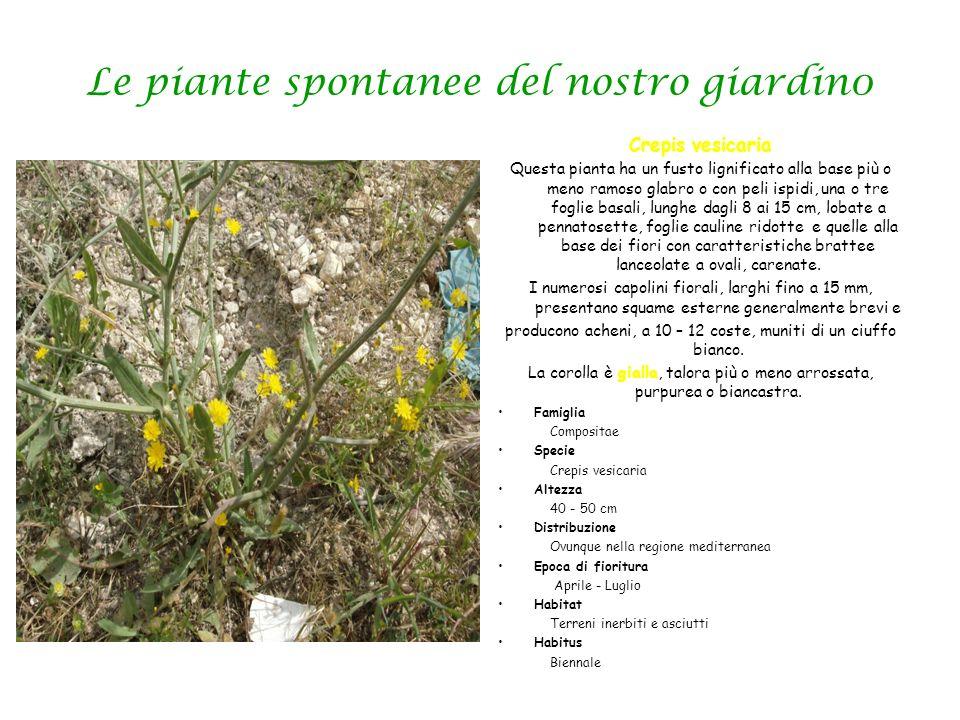 Le piante spontanee del nostro giardin0 Crepis vesicaria Questa pianta ha un fusto lignificato alla base più o meno ramoso glabro o con peli ispidi, u