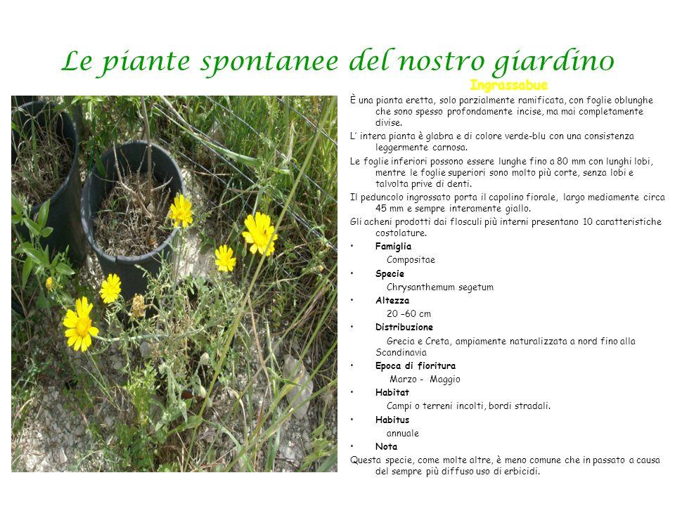 Le piante spontanee del nostro giardin0 Ingrassabue È una pianta eretta, solo parzialmente ramificata, con foglie oblunghe che sono spesso profondamen