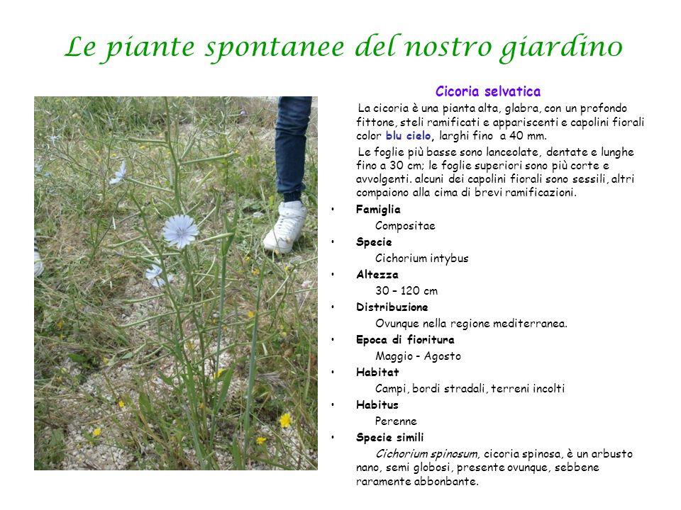Le piante spontanee del nostro giardin0 Cicoria selvatica La cicoria è una pianta alta, glabra, con un profondo fittone, steli ramificati e appariscen