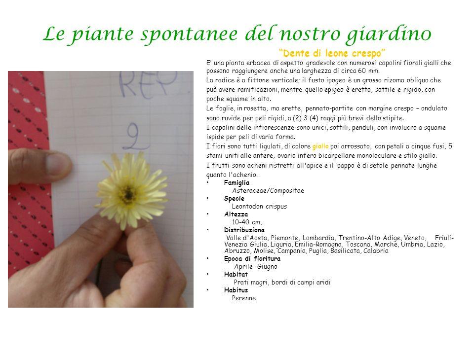 Le piante spontanee del nostro giardin0 Dente di leone crespo E una pianta erbacea di aspetto gradevole con numerosi capolini fiorali gialli che posso