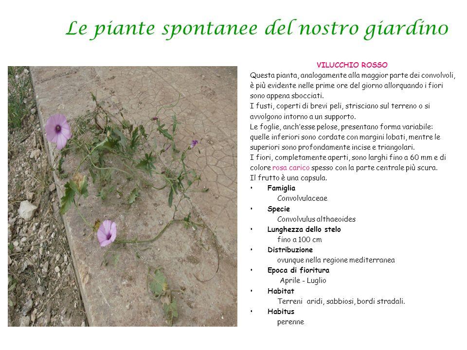 Le piante spontanee del nostro giardin0 VILUCCHIO ROSSO Questa pianta, analogamente alla maggior parte dei convolvoli, è più evidente nelle prime ore