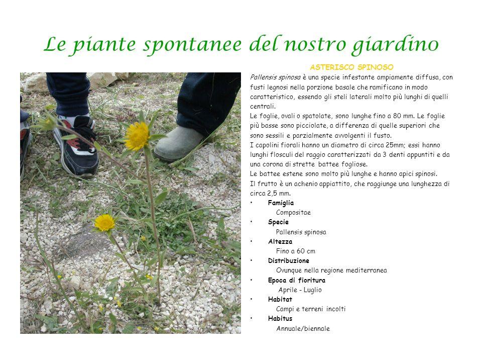 Le piante spontanee del nostro giardin0 ASTERISCO SPINOSO Pallensis spinosa è una specie infestante ampiamente diffusa, con fusti legnosi nella porzio