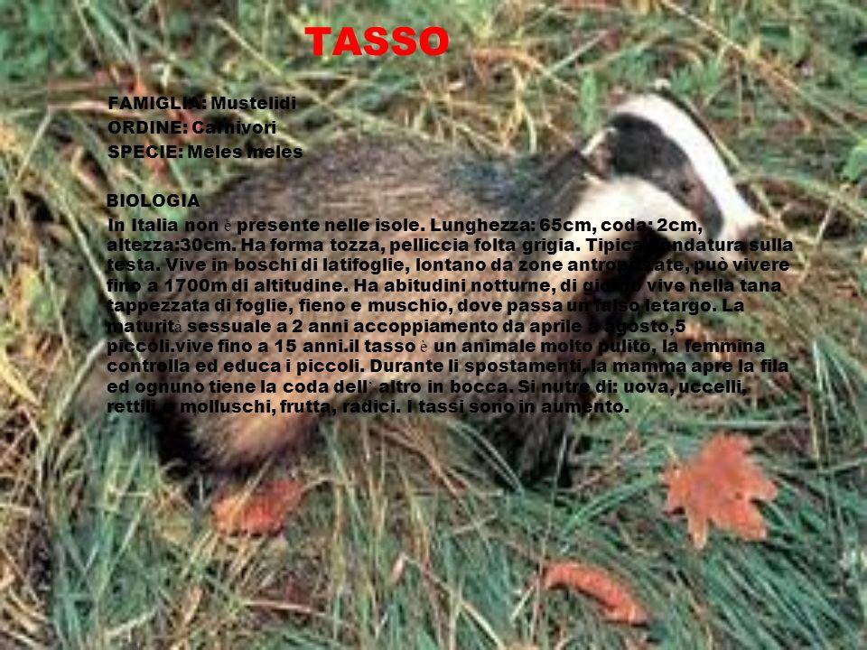 TASSO FAMIGLIA: Mustelidi ORDINE: Carnivori SPECIE: Meles meles BIOLOGIA In Italia non è presente nelle isole. Lunghezza: 65cm, coda: 2cm, altezza:30c