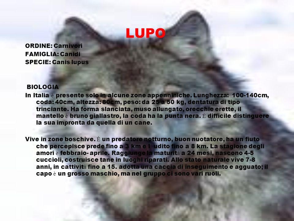 LUPO ORDINE: Carnivori FAMIGLIA: Canidi SPECIE: Canis lupus BIOLOGIA In Italia è presente solo in alcune zone appenniniche. Lunghezza: 100-140cm, coda