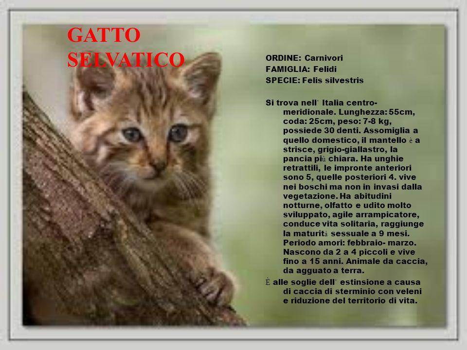 ORDINE: Carnivori FAMIGLIA: Felidi SPECIE: Felis silvestris Si trova nell Italia centro- meridionale. Lunghezza: 55cm, coda: 25cm, peso: 7-8 kg, possi
