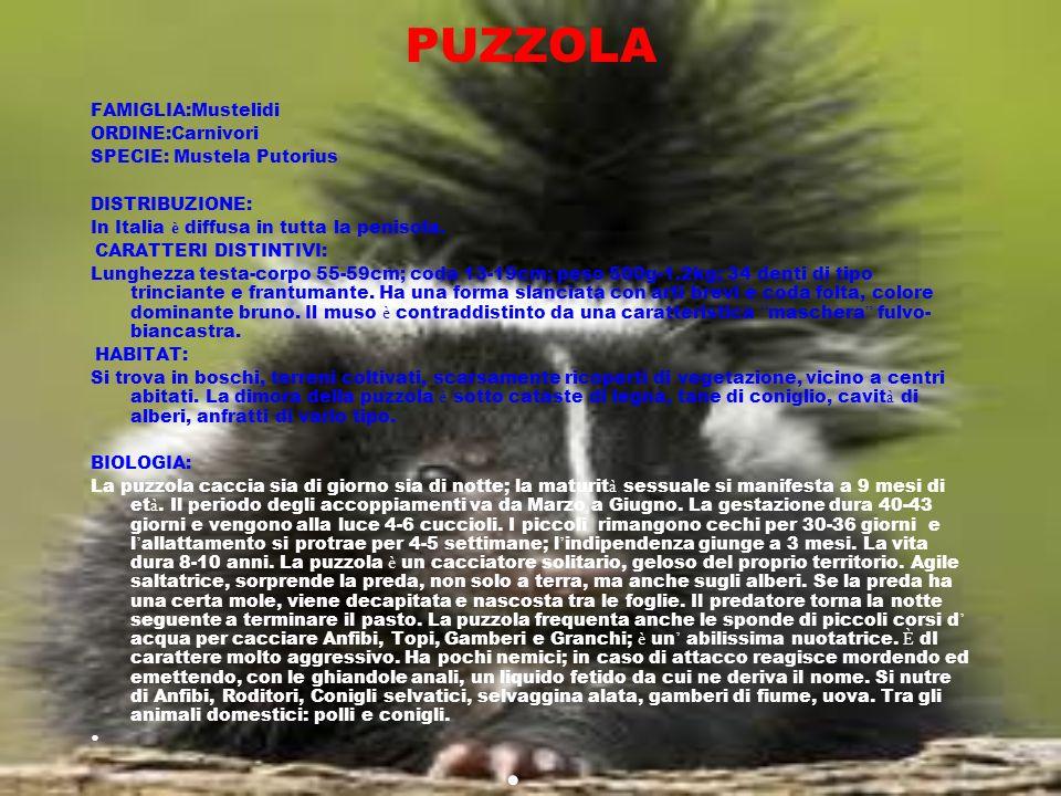 PUZZOLA FAMIGLIA:Mustelidi ORDINE:Carnivori SPECIE: Mustela Putorius DISTRIBUZIONE: In Italia è diffusa in tutta la penisola. CARATTERI DISTINTIVI: Lu