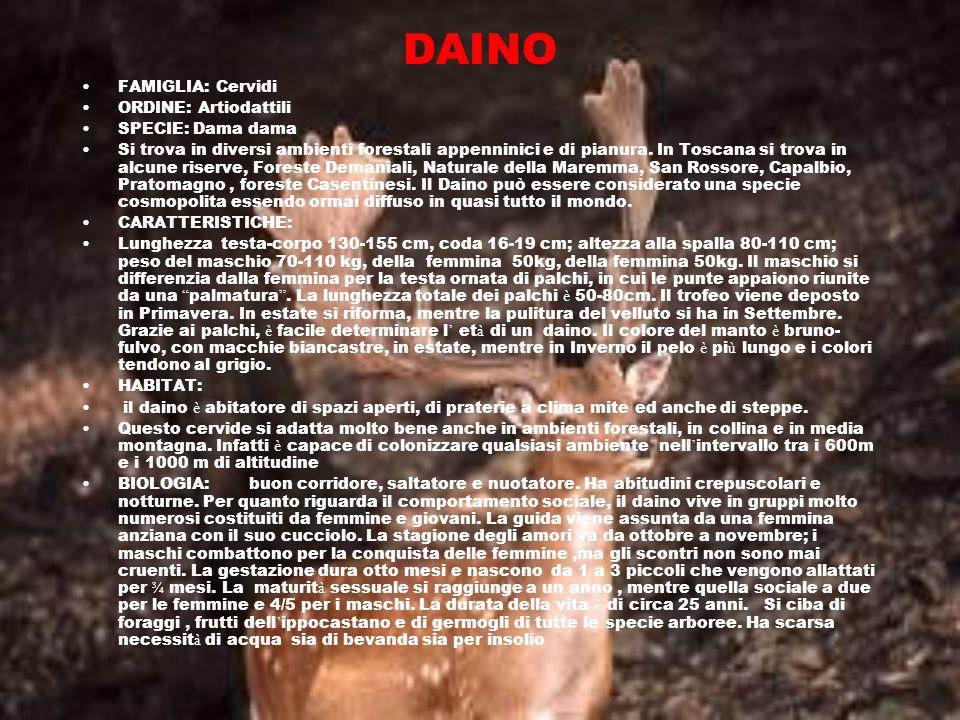 DAINO FAMIGLIA: Cervidi ORDINE: Artiodattili SPECIE: Dama dama Si trova in diversi ambienti forestali appenninici e di pianura. In Toscana si trova in