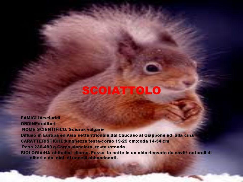 SCOIATTOLO FAMIGLIA:sciuridi ORDINE:roditori NOME SCIENTIFICO: Sciurus vulgaris Diffuso in Europa ed Asia settentrionale,dal Caucaso al Giappone ed al