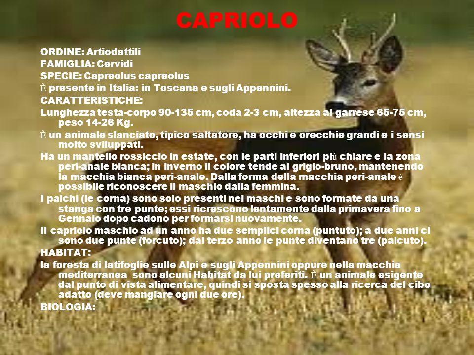 CAPRIOLO ORDINE: Artiodattili FAMIGLIA: Cervidi SPECIE: Capreolus capreolus È presente in Italia: in Toscana e sugli Appennini. CARATTERISTICHE: Lungh