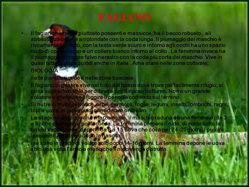 FAGIANO Il fagiano ha forme piuttosto possenti e massicce, ha il becco robusto, ali abbastanza brevi e arrotondate con la coda lunga. Il piumaggio del