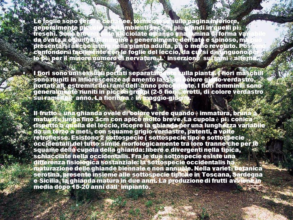 Le foglie sono verdi e coriacee, tormentose sulla pagina inferiore, generalmente piccole negli ambienti secchi, pi ù grandi in quelli pi ù freschi. So
