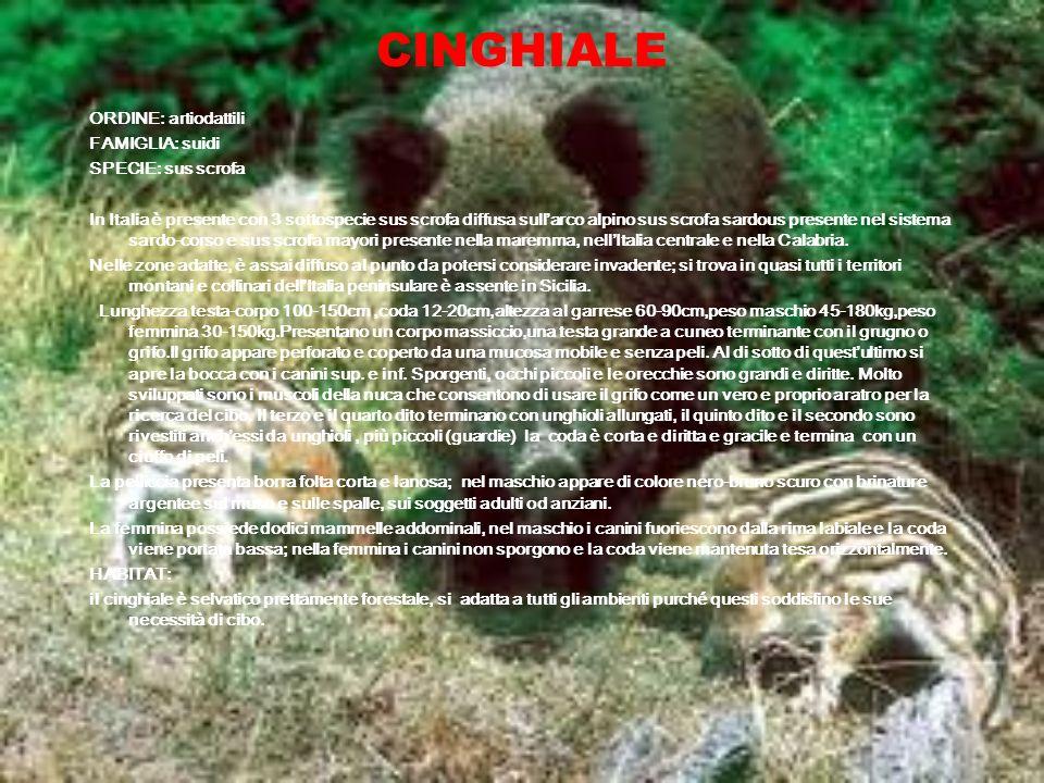 CINGHIALE ORDINE: artiodattili FAMIGLIA: suidi SPECIE: sus scrofa In Italia è presente con 3 sottospecie sus scrofa diffusa sullarco alpino sus scrofa