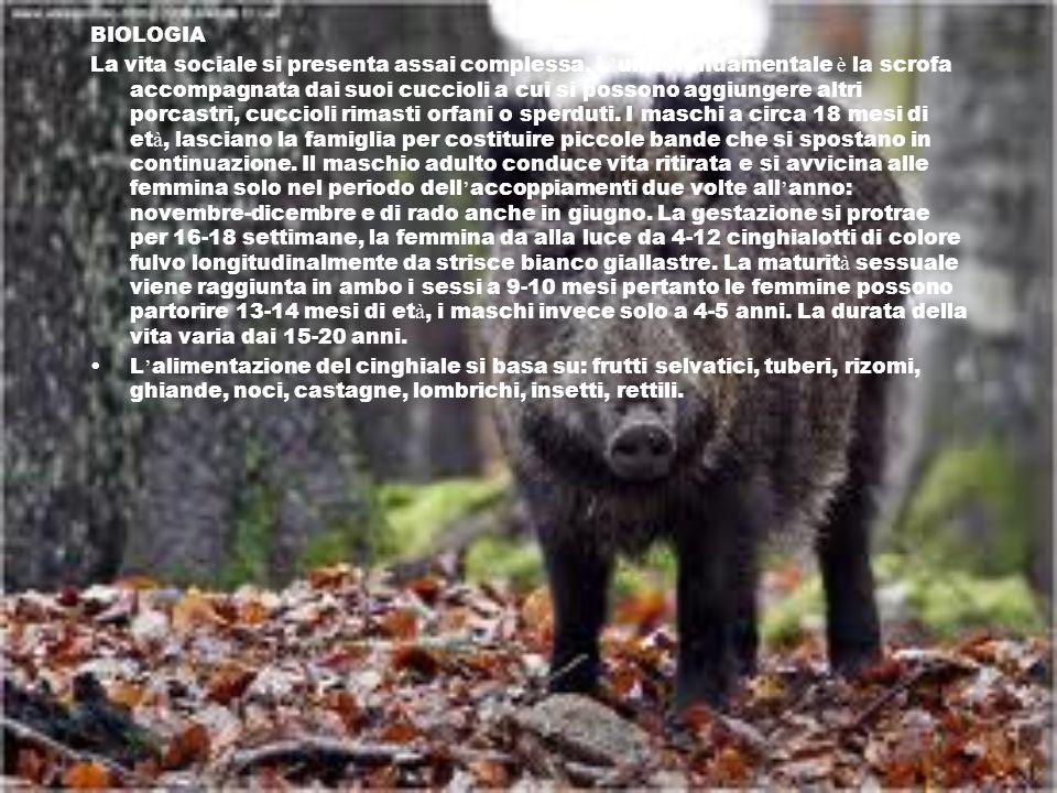 LEPRE FAMIGLIA : leporidi ORDINE : lagomorfi NOME SCIENTIFICO:Lepus europaeus In Italia è presente ovunque e in Sicilia, sene distinguono quattro sottospecie.