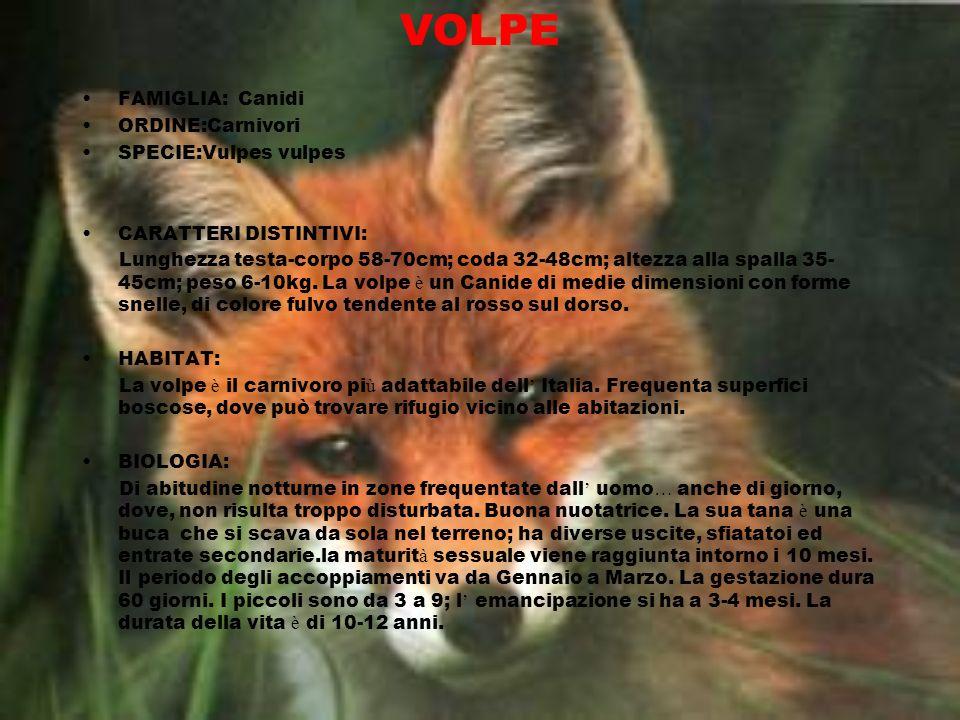 VOLPE FAMIGLIA: Canidi ORDINE:Carnivori SPECIE:Vulpes vulpes CARATTERI DISTINTIVI: Lunghezza testa-corpo 58-70cm; coda 32-48cm; altezza alla spalla 35