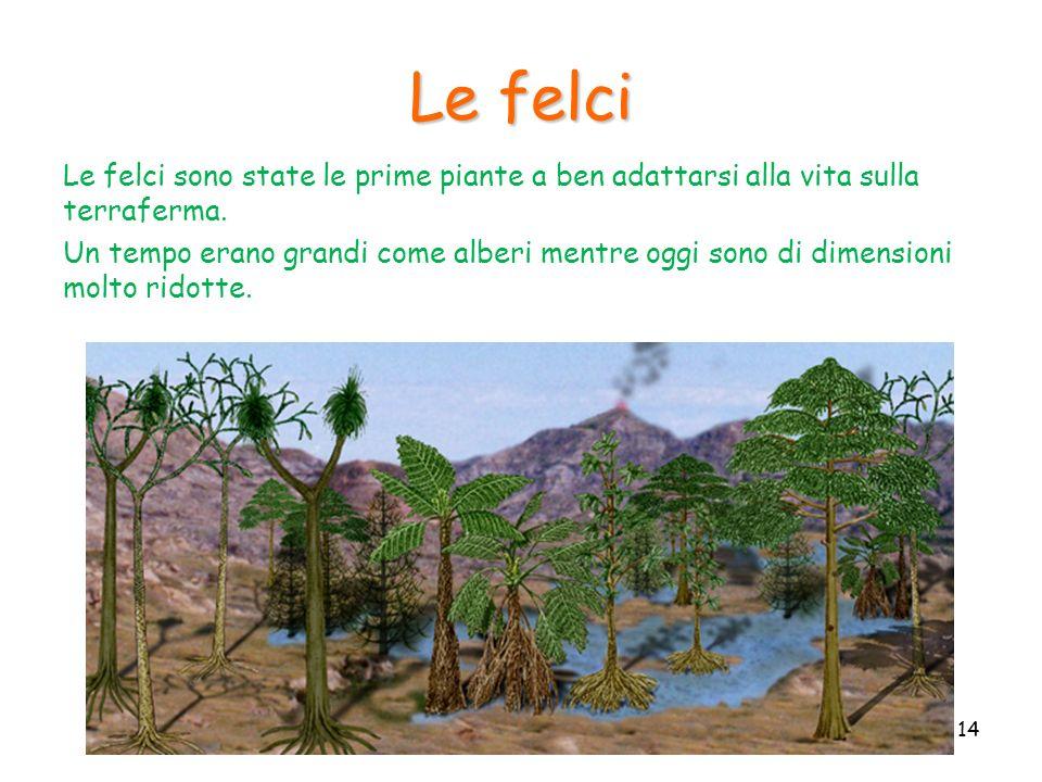 Le felci Le felci sono state le prime piante a ben adattarsi alla vita sulla terraferma. Un tempo erano grandi come alberi mentre oggi sono di dimensi