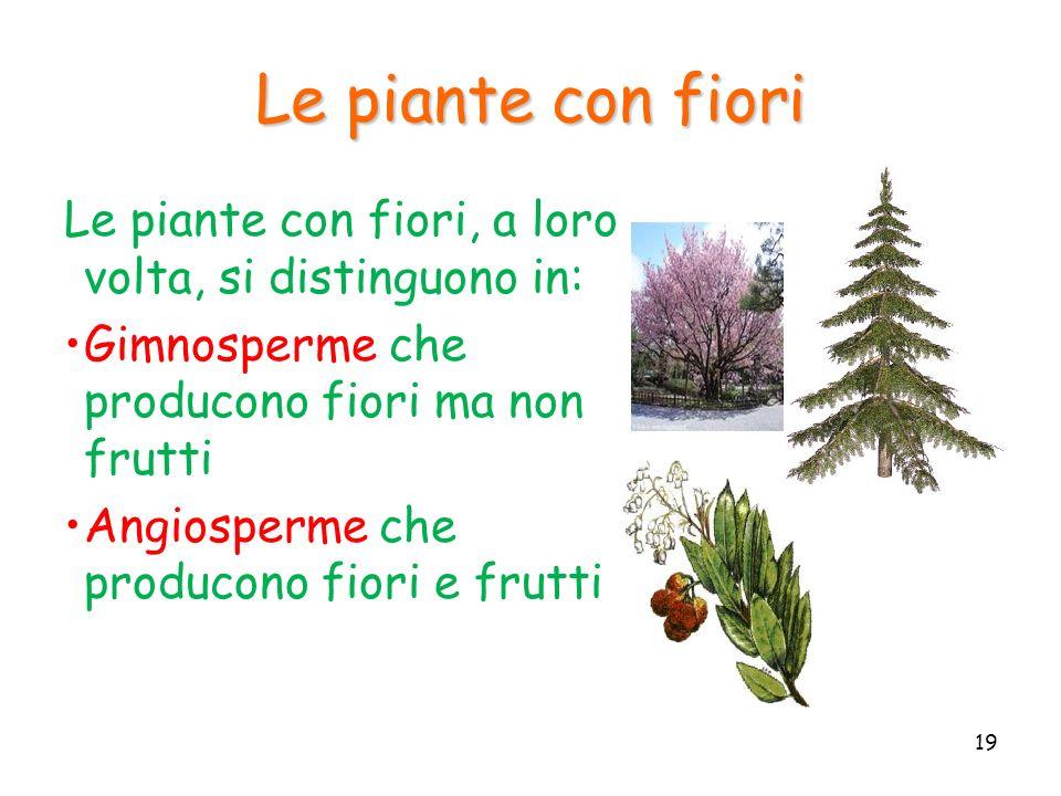 Le piante con fiori Le piante con fiori, a loro volta, si distinguono in: Gimnosperme che producono fiori ma non frutti Angiosperme che producono fior
