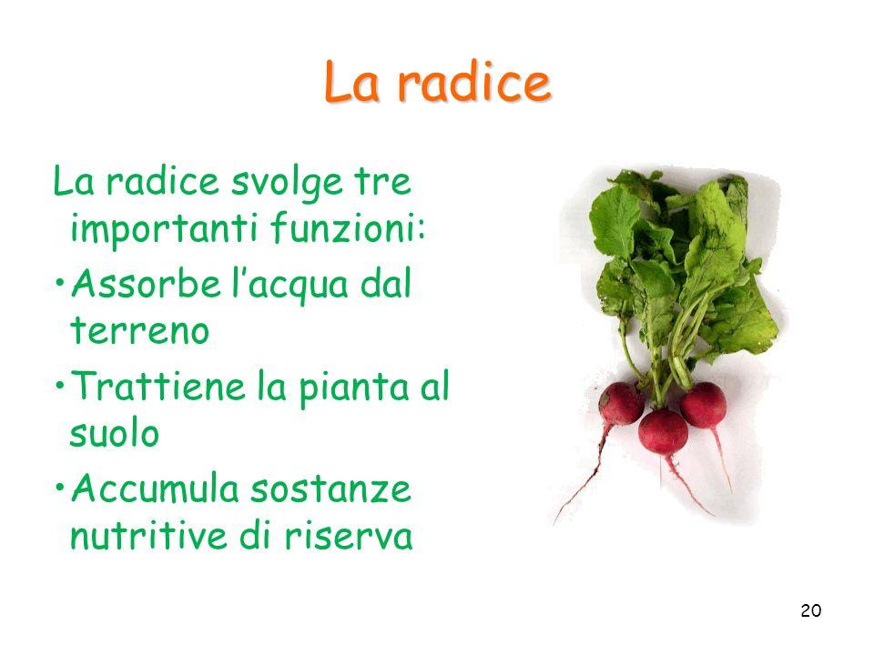 La radice La radice svolge tre importanti funzioni: Assorbe lacqua dal terreno Trattiene la pianta al suolo Accumula sostanze nutritive di riserva 20