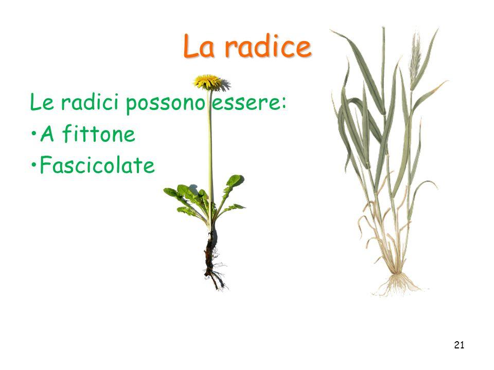 La radice Le radici possono essere: A fittone Fascicolate 21