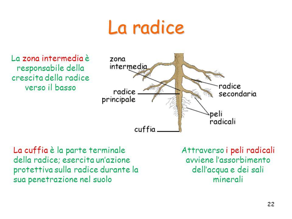 La radice La cuffia è la parte terminale della radice; esercita unazione protettiva sulla radice durante la sua penetrazione nel suolo Attraverso i pe