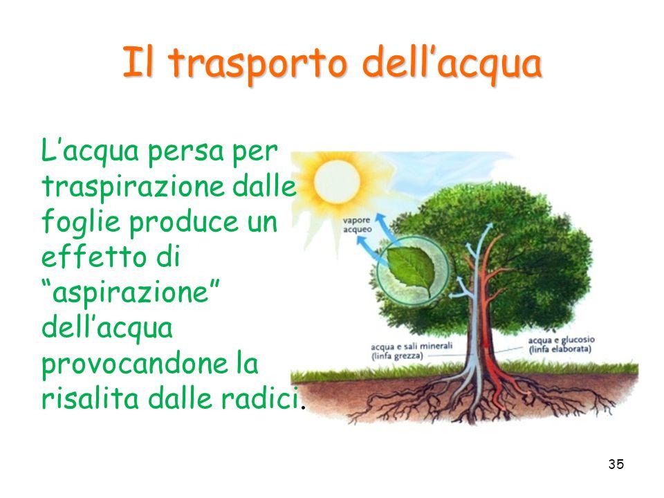 Il trasporto dellacqua Lacqua persa per traspirazione dalle foglie produce un effetto di aspirazione dellacqua provocandone la risalita dalle radici.
