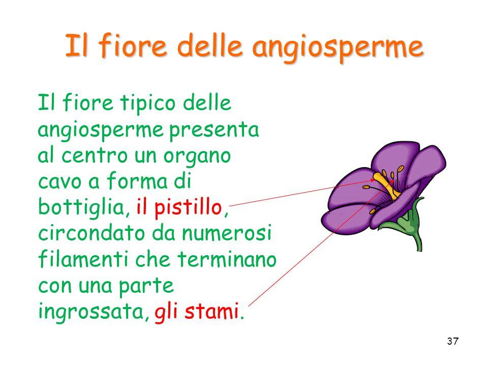 Il fiore delle angiosperme Il fiore tipico delle angiosperme presenta al centro un organo cavo a forma di bottiglia, il pistillo, circondato da numero
