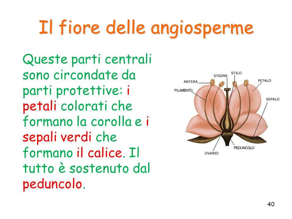 Il fiore delle angiosperme Queste parti centrali sono circondate da parti protettive: i petali colorati che formano la corolla e i sepali verdi che fo