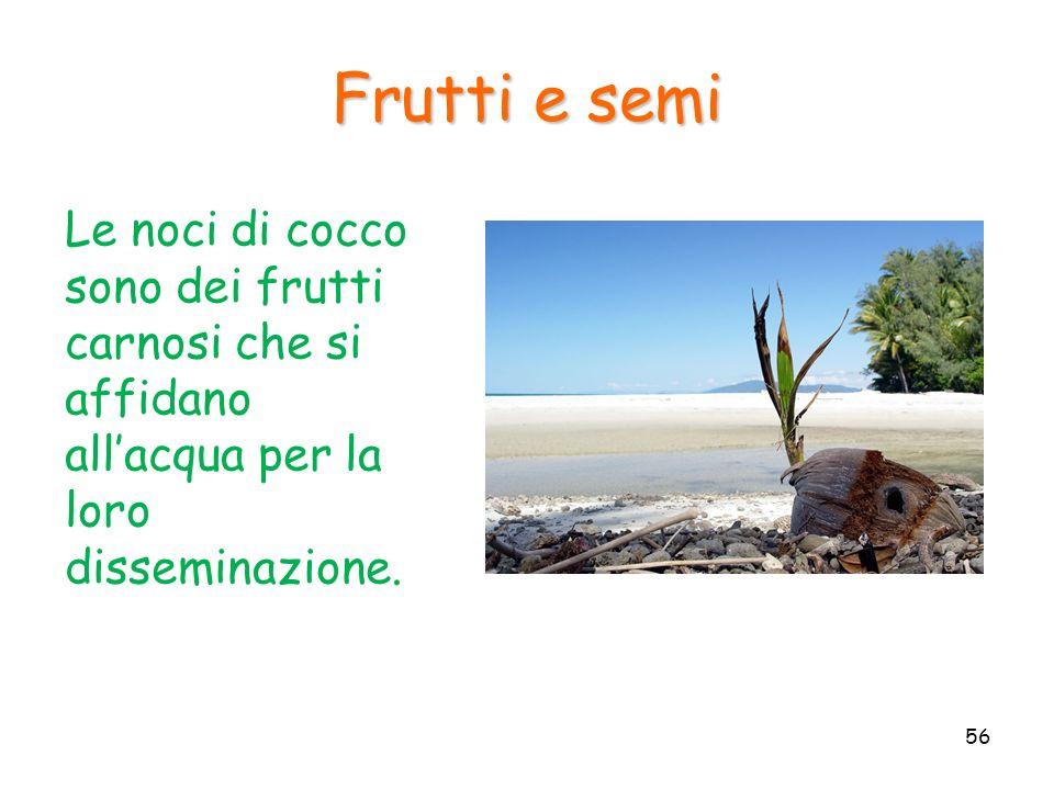 Le noci di cocco sono dei frutti carnosi che si affidano allacqua per la loro disseminazione. Frutti e semi 56